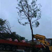 江苏星星园林乌桕大树起货中,大小规格齐全