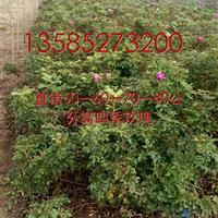 江苏四季玫瑰价格40-50-60-80公分高四季玫瑰工程苗价