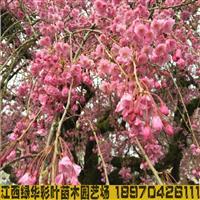 八重红枝垂樱 正宗红枝樱花 八重垂枝樱花小苗供应