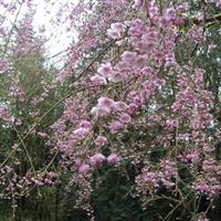 美国垂枝红樱 供应垂枝樱花嫁接苗 正宗红樱花树苗 垂枝樱花苗
