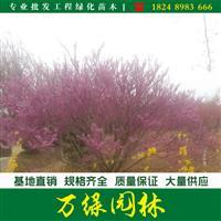 丛生紫荆价格_丛生紫荆产地_丛生紫荆绿化苗木苗圃基地
