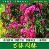 红花蔷薇价格_红花蔷薇产地_红花蔷薇绿化苗木苗圃基地