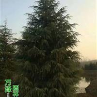雪松价格_雪松图片_雪松产地_雪松绿化苗木苗圃基地