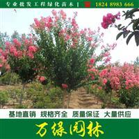 红火箭紫薇价格_红火箭紫薇产地_红火箭紫薇绿化苗木苗圃基地
