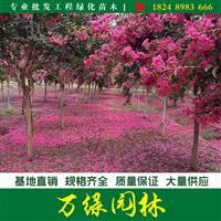 红花紫薇价格_红花紫薇产地_红花紫薇绿化苗木苗圃基地