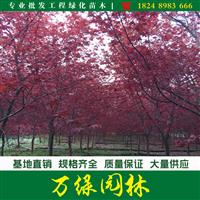 日本红枫价格_日本红枫产地_日本红枫绿化苗木苗圃基地