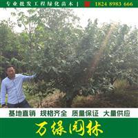 腊梅花价格_腊梅图片_腊梅产地_腊梅绿化苗木苗圃基地