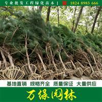 油松价格_油松图片_油松产地_油松绿化苗木苗圃基地