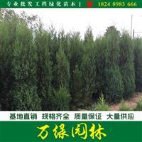 北京桧柏价格_北京桧柏图片_北京桧柏产地_北京桧柏苗圃基地