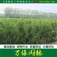 高杆龙柏图片-高杆龙柏价格-绿化苗木基地产地直销
