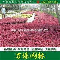 国庆菊、万寿菊、金盏菊、瓜叶菊、三色堇、一串红、紫叶草、彩叶