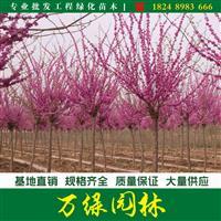独杆紫荆图片-独杆紫荆价格-绿化苗木基地直销