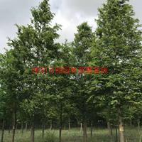 萬綠金葉水杉價格_金葉水杉產地_金葉水杉綠化苗木苗圃基地