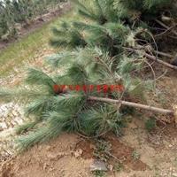 万绿园林油松价格_油松图片_油松产地_油松绿化苗木苗圃基地