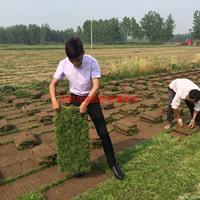 萬綠園馬尼拉草坪價格_馬尼拉草坪產地_馬尼拉草坪草皮苗圃基地