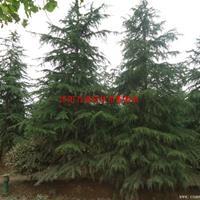 万绿园林雪松价格_雪松图片_雪松产地_雪松绿化苗木苗圃基地