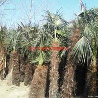 万绿园林棕榈价格_棕榈基地_棕榈产地_棕榈绿化苗木苗圃基地