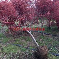 萬綠園林日本紅楓價格_日本紅楓產地_日本紅楓綠化苗木苗圃基地