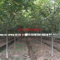 萬綠園林櫸樹價格_櫸樹圖片_櫸樹產地_櫸樹綠化苗木苗圃基地