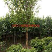 万绿园林木瓜价格_木瓜图片_木瓜产地_木瓜绿化苗木苗圃基地