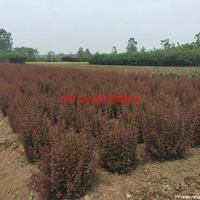 万绿园林紫叶小檗价格_紫叶小檗产地_紫叶小檗绿化苗木苗圃基地