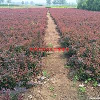 万绿园林红叶小檗价格_红叶小檗产地_红叶小檗绿化苗木苗圃基地