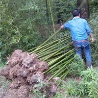 万佛肚竹、凤尾竹、箬竹、淡竹、铺地竹、金丝竹、菲白竹、罗汉竹