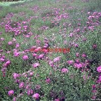 万绿园国庆菊、万寿菊、金盏菊、瓜叶菊、三色堇、一串红、紫叶草