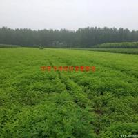 万绿园林紫穗槐图片-紫穗槐价格-绿化苗苗圃基地批发直销