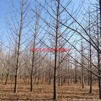 万绿园林实生银杏图片-实生银杏价格-绿化苗圃苗木树批发直销