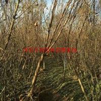 万绿园林山桃树图片-山桃树价格-绿化苗木苗圃基地直销