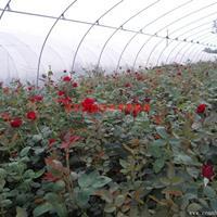 萬綠園林紅帽月季價格_紅帽月季產地_紅帽月季綠化苗木苗圃基地