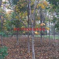 万红花七叶树价格_七叶树图片_七叶树产地_七叶树绿化苗木苗圃