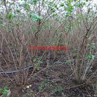 万绿园林金银木图片-金银木价格-绿化苗木基地产地直销