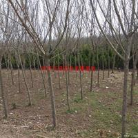 万毛桃树价格_毛桃树图片_毛桃树产地_毛桃树绿化苗木苗圃基地