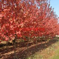 萬綠園林美國紅楓價格_美國紅楓產地_美國紅楓綠化苗木苗圃基地