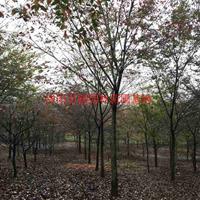 萬紅櫸樹價格_紅櫸樹圖片_紅櫸樹產地_紅櫸樹綠化苗木苗圃基地