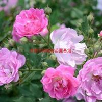 萬綠園林紅花薔薇價格_紅花薔薇產地_紅花薔薇綠化苗木苗圃基地
