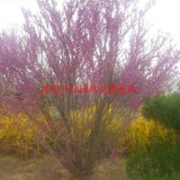 万绿园林丛生紫荆价格_丛生紫荆产地_丛生紫荆绿化苗木苗圃基地