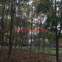 万七叶树价格_七叶树图片_七叶树产地_七叶树绿化苗木苗圃基地