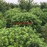 万海桐球价格_海桐球图片_海桐球产地_海桐球绿化苗木苗圃基地