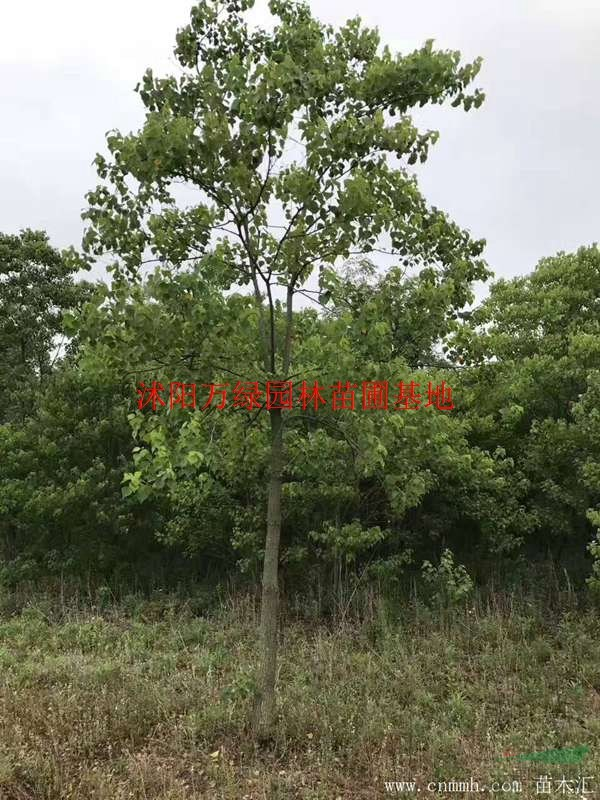 万绿园林红叶乌桕价格_红叶乌桕产地_红叶乌桕绿化苗木苗圃基地