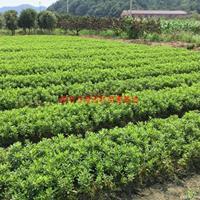 万绿园林紫鹃价格_紫鹃图片_紫鹃产地_紫鹃绿化苗木苗圃基地