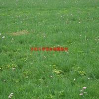 萬常夏石竹價格 常夏石竹圖片 常夏石竹產地 常夏石竹苗圃基地