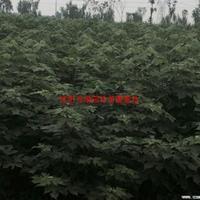 万绿园林赖葡萄_图片_价格_沭阳赖葡萄价格 基地直销构树