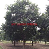 萬重陽木價格_重陽木圖片_重陽木產地_重陽木綠化苗木苗圃基地