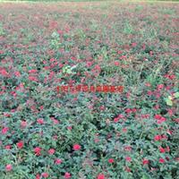 萬綠園林品種月季價格_品種月季產地_品種月季綠化苗木苗圃基地