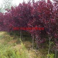 万绿园林紫叶矮樱价格_紫叶矮樱产地_紫叶矮樱绿化苗木苗圃基地