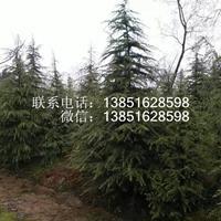 南京雪松基地 雪松價格