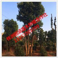 基地直供湖南香樟树、精品香樟树、丛生香樟树、多杆香樟树价格